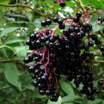 Černý bez – léčivka i pochoutka